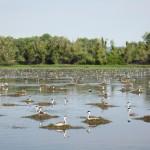 Aechmophorus grebe colony Clear Lake CA