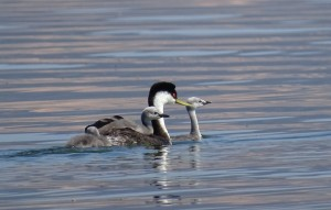 Grebe Babies by Barbara Bridges 1