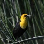 Yellow-headed Blackbird by Brad Barnwell