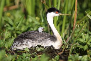 grebe baby on mom's back
