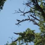 Heron in oak tree on Slater Island