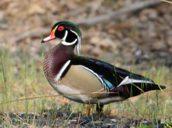 photo_bird wood duck