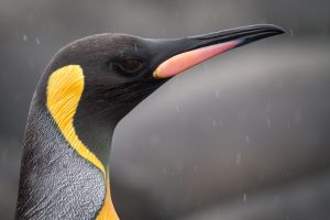 king-penguin-3583