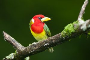 Red-headed Barbet (m) - Suamox, Ecuador