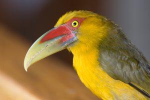 saffron-toucanet-2