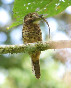 Puffbird, Barred