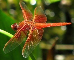 1 Flame Skimmer Dragonfly