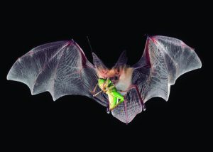 Pallid bat courtesy Merlin Tuttle