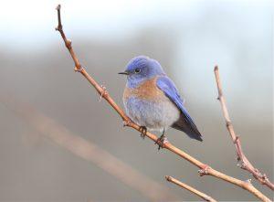 Western Bluebird by Brad Barnwell